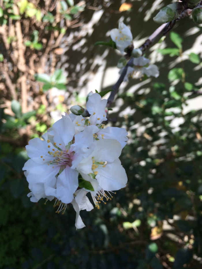 Mindal_blossom